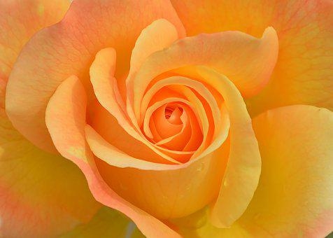 Flower, Plant, Rose, Nature, Garden, Orange, Macro