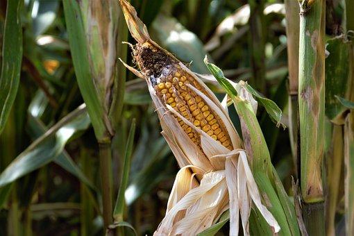 Food, Nature, Flora, Agriculture, Farm, Corn, Summer