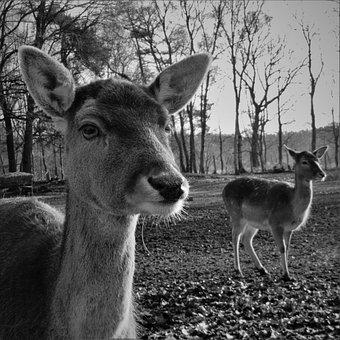 Fallow Deer, Hirsch, Head, Roe Deer, Mammal, Animal