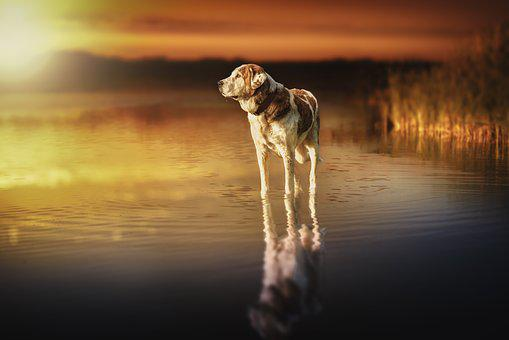 Dog, Sunset, Waters, Reflection, Lake, Composition