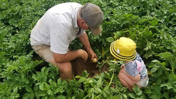 Farm, Agriculture, Food, Nature, Leaf, Potato, Child