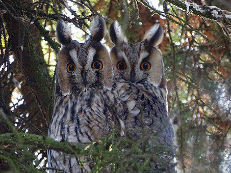 Owls, Long Eared Owl, Raptor, Forest, Nature