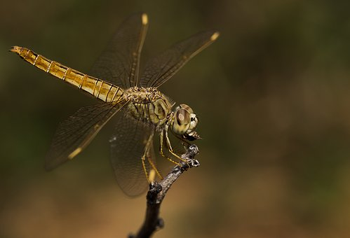 Insect, Dragonfly, Wildlife, Nature, Invertebrate, Wing
