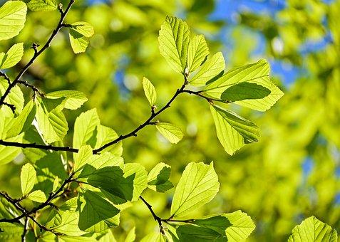 Persian Oak Wood, Parrotia Persica, Leaves, Tree