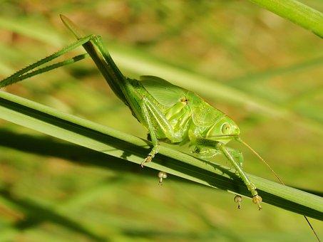 Insect, Grasshopper, Nature, Animals, Grasshopper Green