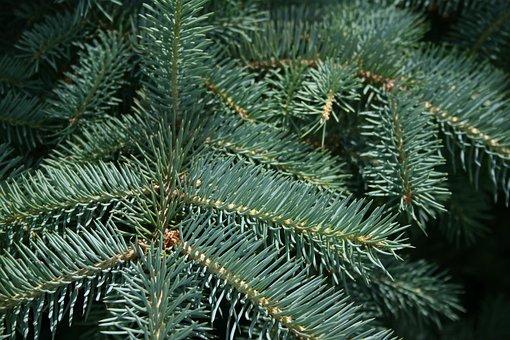 Pine, Winter, Tree, Needle, Christmas