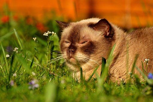 British Shorthair, Cat, Cute, Portrait, British