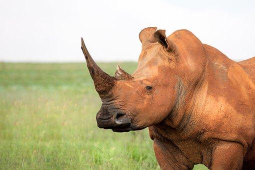 Portrait Of A White Rhinoceros, Square Lipped