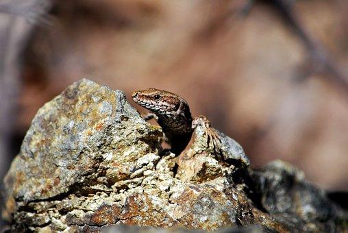 Nature, Reptile, Wildlife, Animal, Lizard