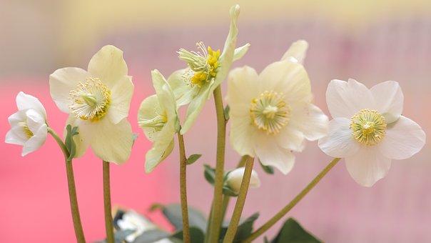 Pink Christmas, White, Flower, Nature, Plant, Petal