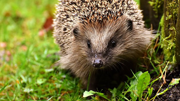 Hedgehog Child, Young Hedgehog, Hedgehog, Animal, Spur
