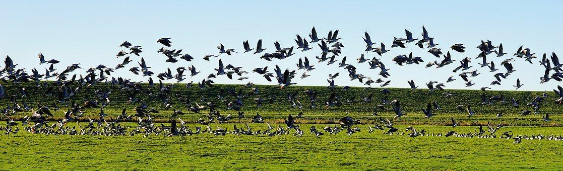 Birds, Geese, Flock Of Birds, North Sea, Panorama