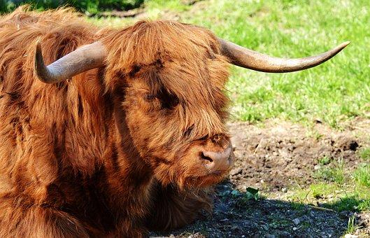 Bull, Beef, Horns, Farm, Good Aiderbichl, Sanctuary