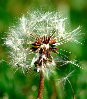Dandelion, Nature, Seed, Flora, Summer, Close-up, Weed