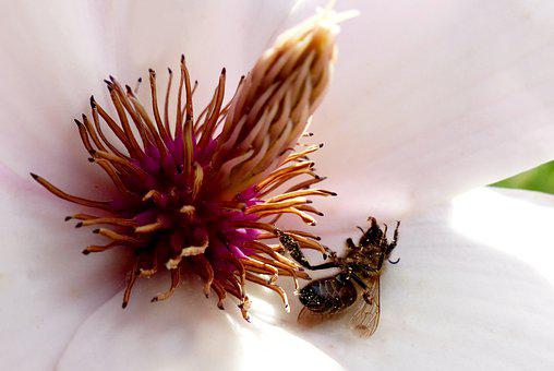 Nature, Flower, Plant, Magnolia Blossom, Bee, Dead Bee
