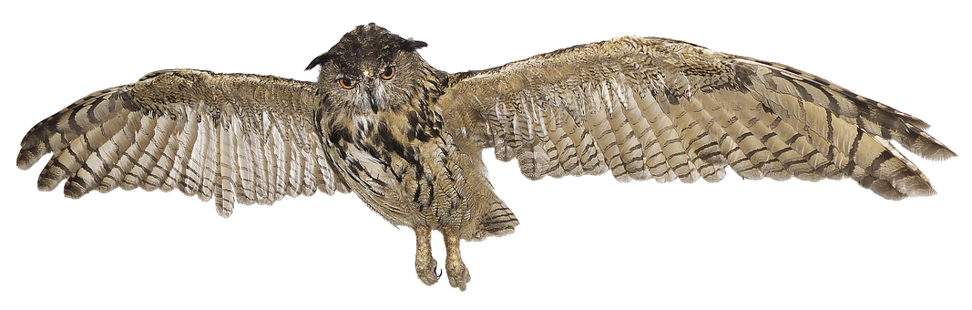 Eagle Owl, Owl, Species, Raptor, Bird Of Prey, Bubo