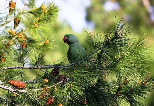 Tree, Nature, Pine, Branch, Parrot
