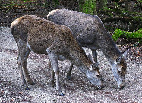 Red Deer, Doe, Deer Park, Bald Wild, Wild Animal