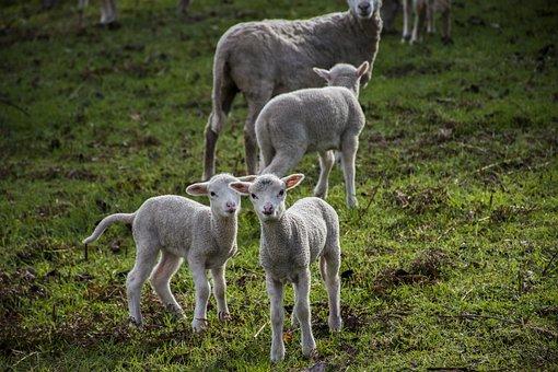 Nature, Mammals, Rural Area, Sheep