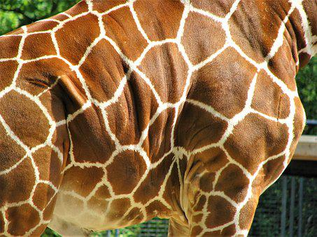 Nature, Animal, Wild Animals, Skin, Giraffe, Pattern