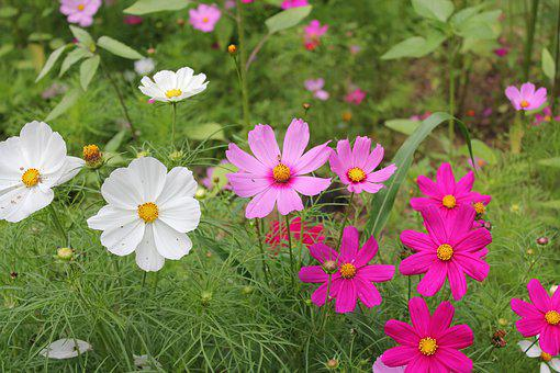 Flower, Nature, Summer, Flora, Garden