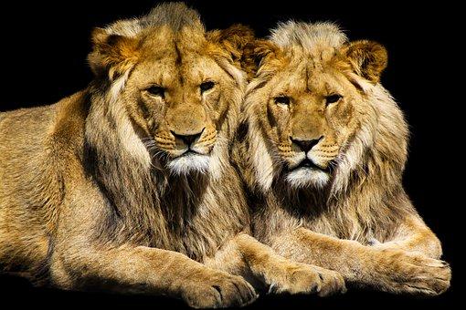 Animal, Lion, Cat, Predator, Animal World, Wild, Africa