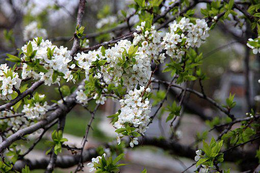 Bird-cherry Tree, Tree, Bloom, Spring