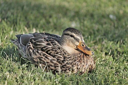 Mallard, Duck, Female, Brown, Meadow, Grass, Water Bird