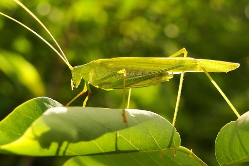 Nature, Leaf, Insect, Plant, Closeup, Grasshopper