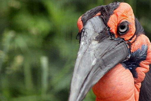 Kaffir Horned Raven, Bird, Zoo, Eye, Closeup, Nature