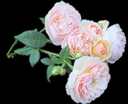 Rose, Flower, Bouquet, Love, Floral