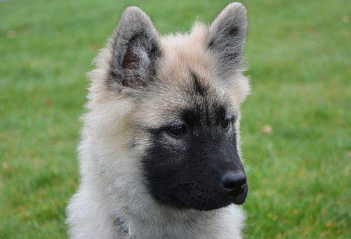 Dog, Bitch Nova, Young Dog Eurasier, Head Profile