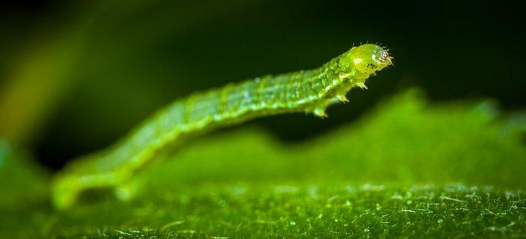 Nature, Larva, Insect, Caterpillar, Sheet, Macro