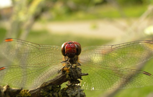 Insect, Dragonflies Różnoskrzydłe, Nature, Animals