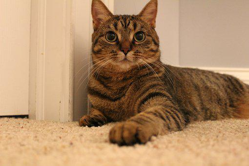 Domestic, Animal, Cute, Pet, Cat, Kitten, Fur, Adorable