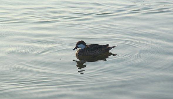 Bird, Water, Lake, Wildlife, Nature, Animal, Duck