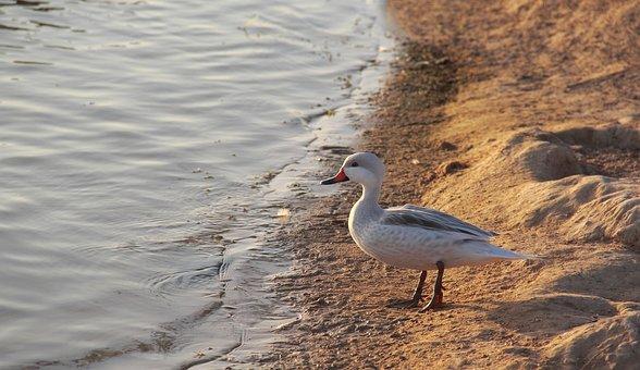 Bird, Water, Nature, Lake, Wildlife, Sea, Sand, River