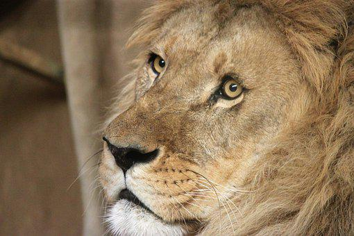 Lion, Cat, Animal World, Mammal, Animal, Zoo