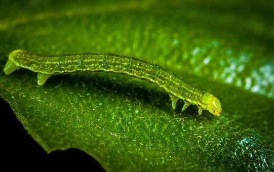 Larva, Caterpillar, Nature, Insect, Sheet, Macro