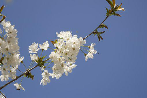 Flower, Branch, Nature, Plant, Tree, Cherry Wood, Petal
