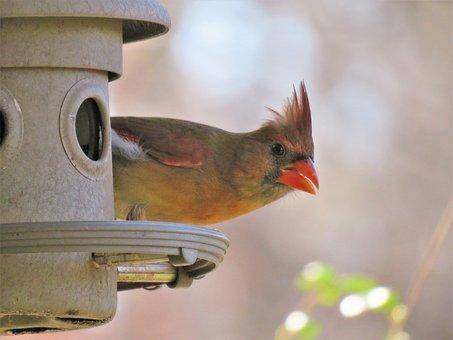 Bird, Wildlife, Outdoors, Nature, Female, Cardinal
