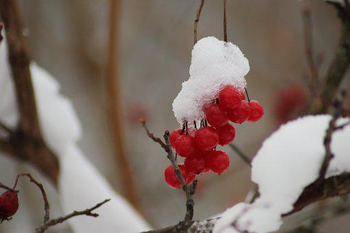 Winter, No One, Nature, Outdoors, Fruit, Berry, Snow