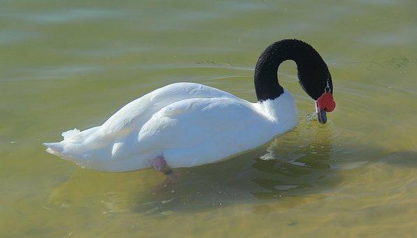 Bird, Water, Lake, Wildlife, Nature, Animal, Swan