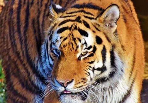 Tiger, Cat, Predator, Wildcat, Big Cat, Dangerous
