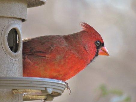Bird, Wildlife, Nature, Cardinal, Songbird, Male