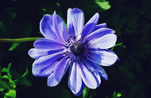 Flower, Anemone, Blue, Nature, Plant, Garden, Summer