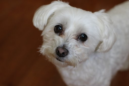 Dog, Cute, Pet, Mammal, Canine, Bichon, Maltese