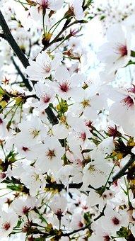 Flowers, Cherry Tree, Quarter, Plants, Wood, Nature