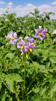 Nature, Flower, Flora, Leaf, Summer, Potato