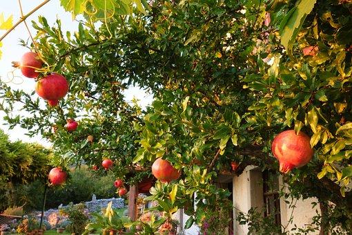 Garnet, Pomegranate, Tree, Fruit, Garden, Leaf, Nature